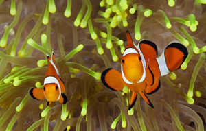 400-ocellaris-clownfish-pair