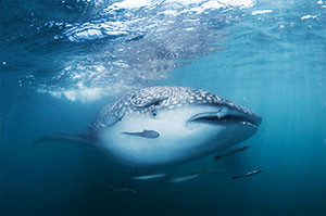 300-whale-shark-in-the-gulf